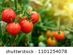 ripe red tomatoes are on the... | Shutterstock . vector #1101254078