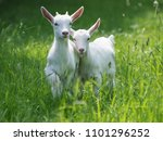 Two baby goat kids stand in...