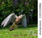 eurasian kestrel in flight   Shutterstock . vector #1101310886