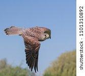 eurasian kestrel in flight   Shutterstock . vector #1101310892