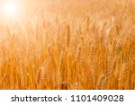 Harvest Season Golden Wheat...