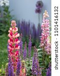 stunning pink and red lupin... | Shutterstock . vector #1101416132