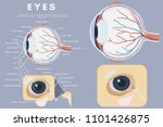 canine anatomy of eyes with...   Shutterstock . vector #1101426875