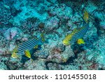 fish  coral. marine life of the ... | Shutterstock . vector #1101455018