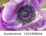 purple poppy flower  macro shot ... | Shutterstock . vector #1101508646