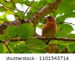 finch bird on branch   Shutterstock . vector #1101543716
