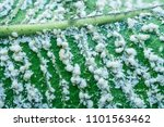 close up white aphids on leaves | Shutterstock . vector #1101563462
