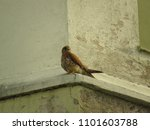common kestrel  falco... | Shutterstock . vector #1101603788
