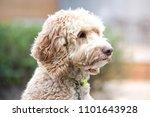 Blond Labradoodle Dog