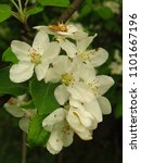 Small photo of flowers of Common pear, Pyrus communis