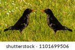 Common Blackbird   Ornithology...