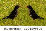 common blackbird   ornithology  ... | Shutterstock . vector #1101699506