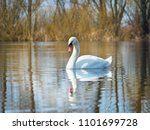 white swan on the river.a white ... | Shutterstock . vector #1101699728