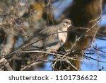 mourning dove  zenaida macroura  | Shutterstock . vector #1101736622