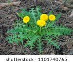 yellow dandelions in green grass | Shutterstock . vector #1101740765