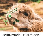 llama being fed in the sacred... | Shutterstock . vector #1101740945
