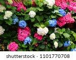 Hydrangea Macrophylla Flower In ...