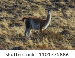 guanaco posing in the national... | Shutterstock . vector #1101775886