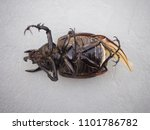 dynastinae black beetle | Shutterstock . vector #1101786782