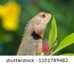 Old World Lizards  Chameleon In ...