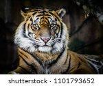 tiger in portrait | Shutterstock . vector #1101793652