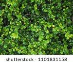leaf green texture | Shutterstock . vector #1101831158
