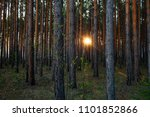 pine forest in the light of... | Shutterstock . vector #1101852866