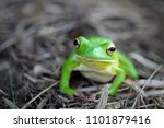 frogs  tree frogs  dumpy frogs... | Shutterstock . vector #1101879416