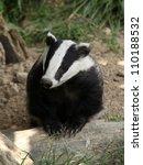 european badger | Shutterstock . vector #110188532