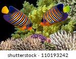 regal angelfish in the red sea  ... | Shutterstock . vector #110193242