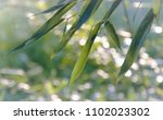 Bamboo Leaves In Late Afternoo...
