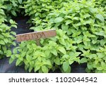 background of green leaves of... | Shutterstock . vector #1102044542