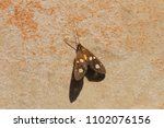 the amah moth at rest in the... | Shutterstock . vector #1102076156