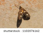the amah moth at rest in the... | Shutterstock . vector #1102076162