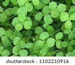 grass. clover. vegetable...   Shutterstock . vector #1102210916