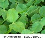 grass. clover. vegetable...   Shutterstock . vector #1102210922