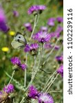 Small photo of Pieridae butterfly and thistle flowers