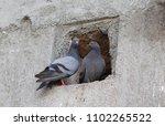 beautiful pigeon pair  | Shutterstock . vector #1102265522
