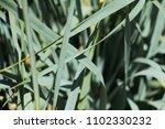 close up holcus  soft grass or... | Shutterstock . vector #1102330232