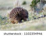 tachyglossus aculeatus   short... | Shutterstock . vector #1102354946