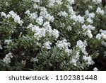 White Flowers Of The Hebe...