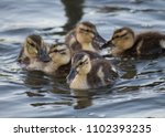 Ducklings On The Water