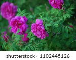 Blooming Pink Wild Rose Fluffy...