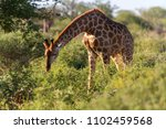 a portrait image of a south... | Shutterstock . vector #1102459568