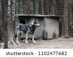 cross between an wolf canis... | Shutterstock . vector #1102477682