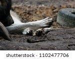 cross between an wolf canis... | Shutterstock . vector #1102477706