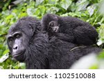 Baby Gorilla Laying On Mum's...