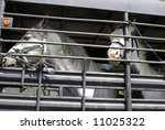 pair of white horses undergoing transport - stock photo