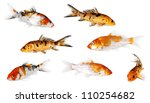Koi Carp Isolated On White...