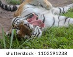 tiger yawning in the grass | Shutterstock . vector #1102591238
